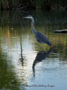 Great Blue Heron, fishing. Carlsbad, New Mexico