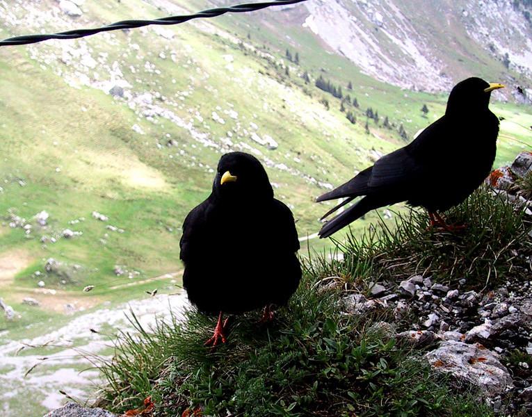 Alpine choughs (Pyrrhocorax graculus)