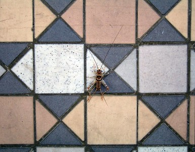 House Cricket (Acheta domesticus) on tiled wall, University Ave, Riverside 9 Aug 2005