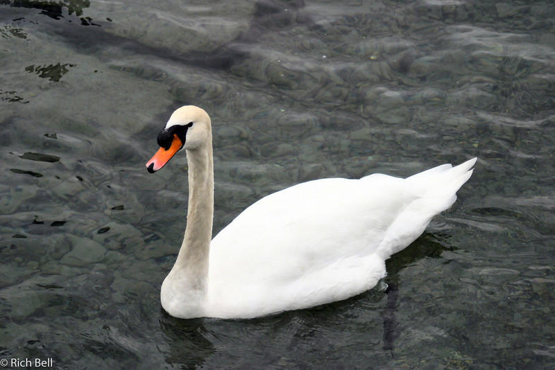 20040929Swan on Lake Lucern Switzerland0547