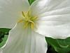 White Trillium (Trillium grandiflorum) wildflower closeup