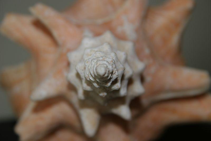 Macro shot of a conch shell