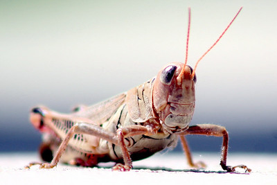 Here's a grasshopper that was on my front walk this morning. 300mm taken from about 5-feet away. I tried to make it an action shot by having my wife startle him into a jump but the little bugger was too quick for me.