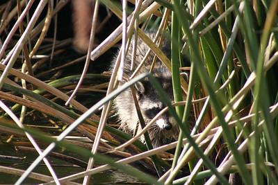 1/14/06 Raccoon (Procyon lotor). Morro Bay Winter Bird Festival, Event #35, Oso Flaco Lake, Oceano, San Luis Obispo County, CA