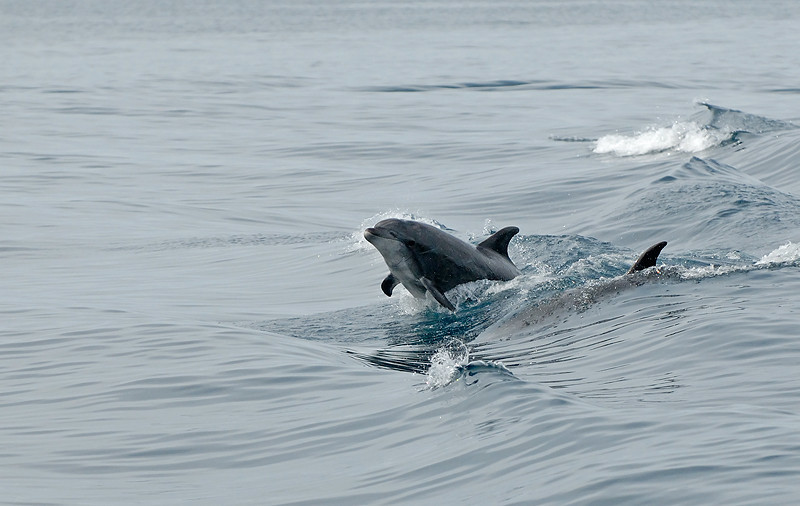 DOLPHINS, CORANADO ISLANDS, MEXICO