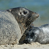 MOTHER AND BABY HARBOR SEAL, LA JOLLA, CALIFORNIA
