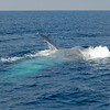 BLUE WHALE LUNGE FEEDING ON KRILL, SAN DIEGO, CALIFORNIA