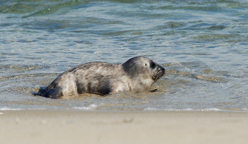 BABY HARBOR SEAL, LA JOLLA, CALIFORNIA