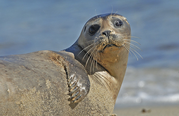HARBOR SEAL, LA JOLLA, CALIFORNIA