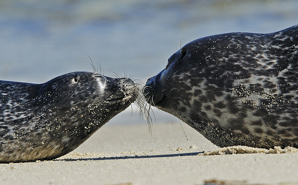MOTHER AND BABY HARBOR SEALS, LA JOLLA, CALIFORNIA