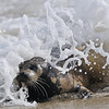 WAVE BREAKING OVER HARBOR SEAL, CHILDREN'S POOL, LA JOLLA, CALIFORNIA