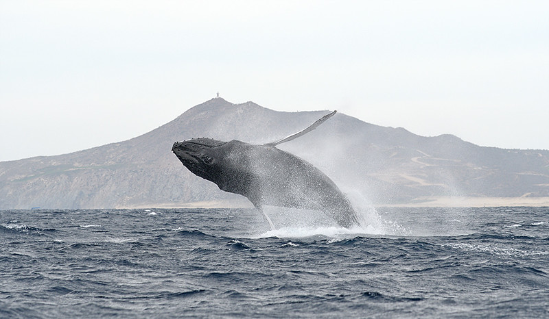 HUMPBACK WHALE, CABO SAN LUCAS, MEXICO