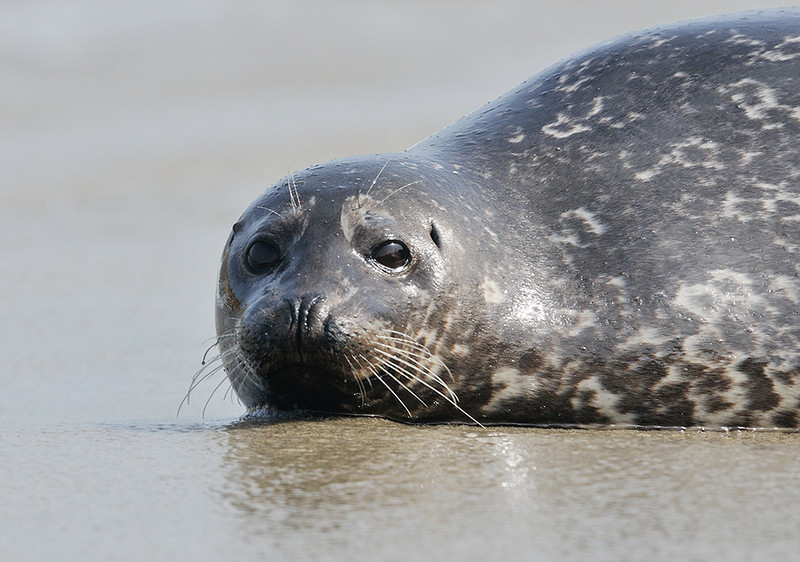 HARBOR SEAL PUP, CHILDERN'S POOL, LA JOLLA, CALIFORNIA