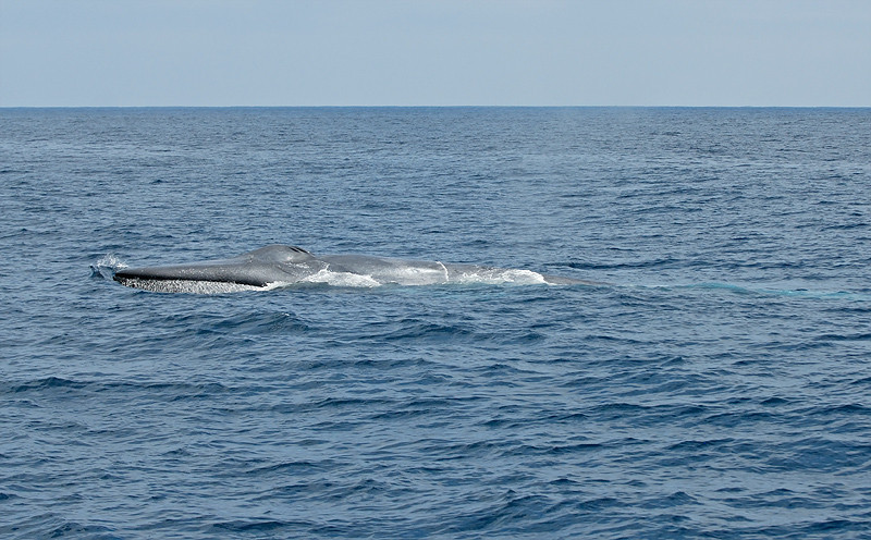 BLUE WHALE, SAN DIEGO, CALIFORNIA