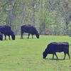 J.S.CARRAS - JCARRAS@DIGITALFIRSTMEDIA.COM  Beef cattle graze Willow-Marsh Farm Monday, May 11, 2015 in Ballston Spa, N.Y..