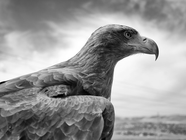 Golden Eagle in Mongolia