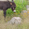 Sweet Smelling Burro
