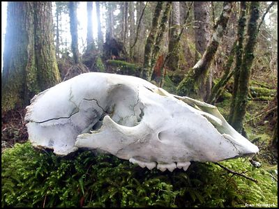 """""""DEATH IN RAINFOREST"""", black bear skull, Wrangell, Alaska, USA.-----""""SMRT V DESTNEM PRALESE"""",lebka cerneho medveda, Wrangell, Aljaska, USA."""