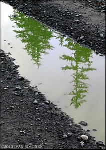 """TWO TREES IN A RUT"",Wrangell,Alaska,USA."