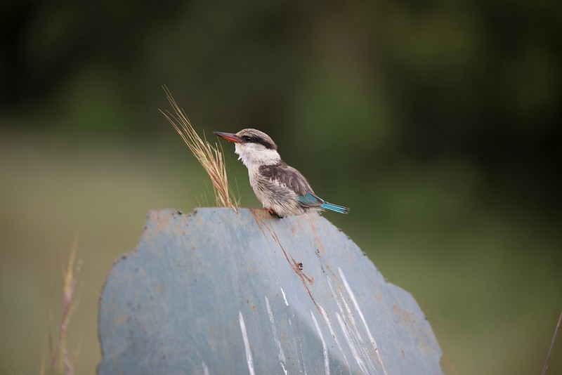 striped kingfisher