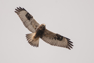 Rough-legged Hawk,