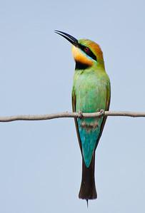 rainbow bee- eater 2