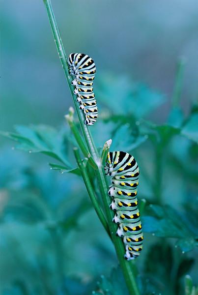 Black Swallowtail caterpillars on parseley.   CV 125 Macro at F5.6 OM4T  Kod 100 Ektar