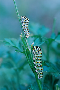 Black Swallowtail caterpillars on parseley.   CV 125 Macro at F5.6 OM4T  Kod 100 Ektar