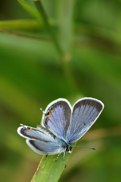 Male Eastern Tailed Blue   Viv S1 90-180mm macro at 180mm F5.6, 5DII  ISO 400