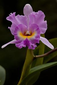 Brassolaeliocattleya Orchid, Big Foot F5.6