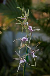 Brassia (Spider)  Orchid Viv S1 90-180 macro at F5.6