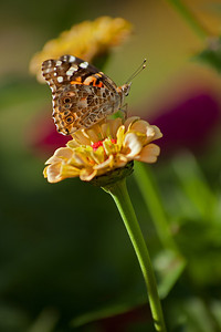 Painted Lady,  VivS1 90-180 at 180mm, f8