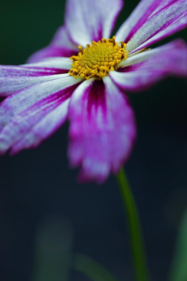 Coreopsis rosea.  Big Foot f5.6