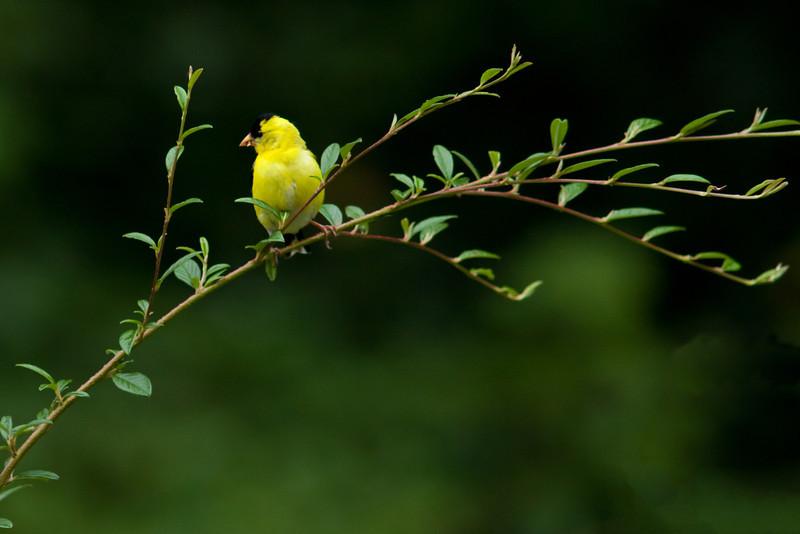 American Goldfinch in backyard