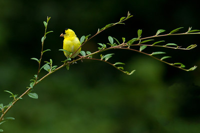 American Goldfinch in backyard