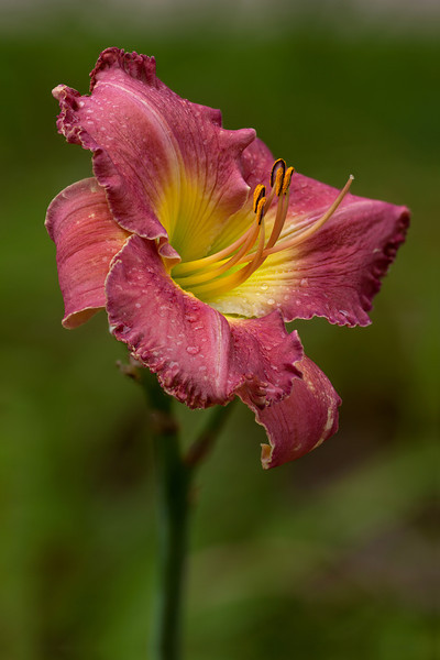 Hybrid Daylily (likely Chicago Apache), Big Foot F5.6, 6 images- CombineZP