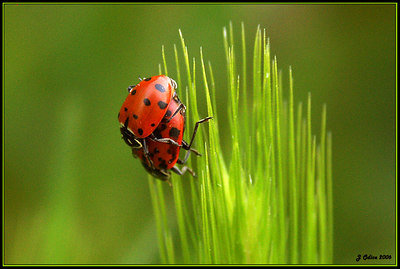 X Rated Ladybugs