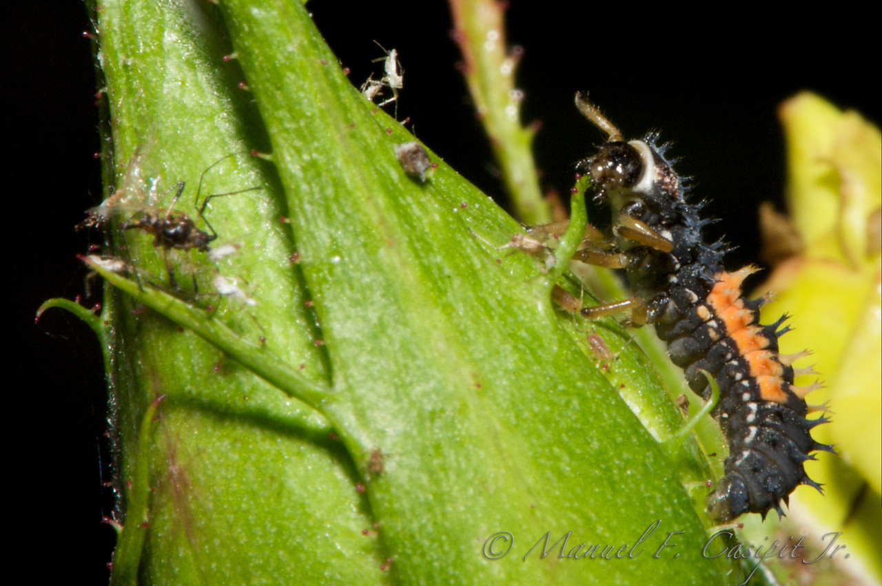 Ladybug larva wreaking havoc on the aphids feeding on a rosebud.