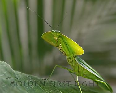 Hooded Mantis, Costa Rica