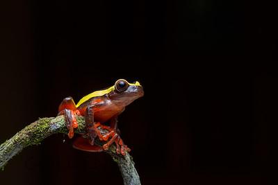 Clown Tree Frog, Ecuador