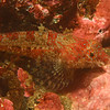 A Sculpin at Sculpin Rock.