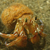 This Hermit crab is the size of your thumb nail.