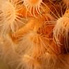 Orange Zoanthids.