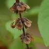 basil seed