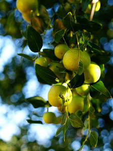 Chinese Pears  Order Code: B2