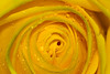 Close up of a yellow rose misted with dew