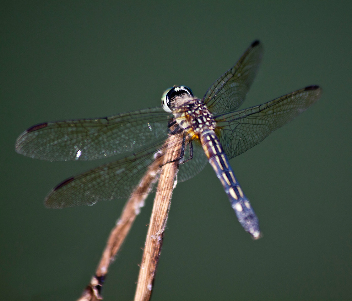 dragonfly_IMG_0155_7729