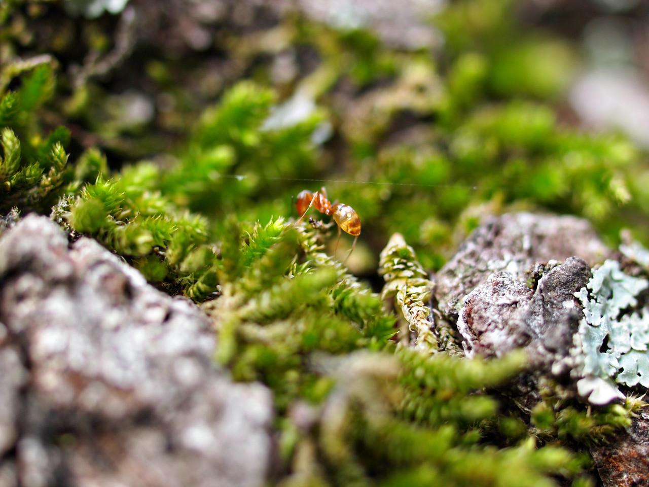 Macro Ant on an Oak Tree