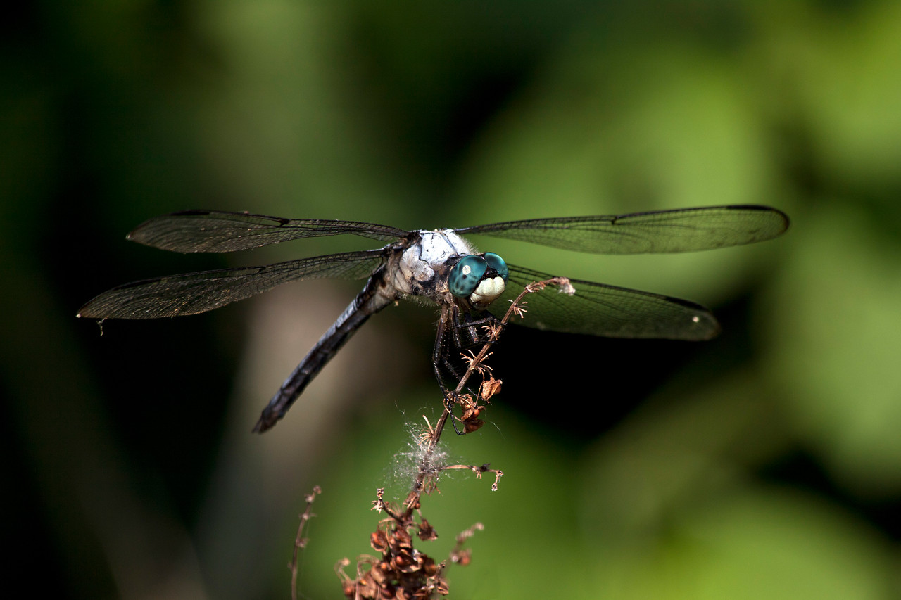 dragonfly_IMG_9458_1075