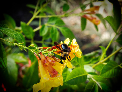 Bumble Bee on Carolina Jessamine - Macro  Order Code: A28
